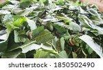 Silk Worm On Green Mulberry Leaf