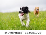 Stock photo happy dogs having fun in a field of springtime buttercups in the uk 185051729