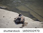 Egyptian Goose At The Rhine