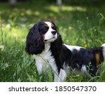 Cute Cavalier King Charles...