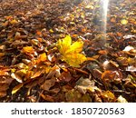 Vibrant Yellow Maple Leaf On...