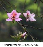 Bauhinia  Chinese Redbud