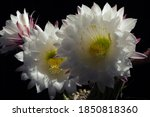 White Petals Cactus Flower With ...