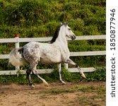 Beautiful Horse Galloping Free...