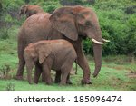 An African Elephant Mother And...