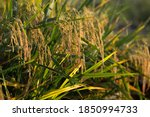 Part Of The Rice Field  The...