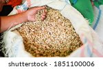 unripe coffee beans before they ... | Shutterstock . vector #1851100006