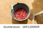 unripe coffee beans before they ... | Shutterstock . vector #1851100009