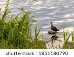 A Duck On The Riverbank In The...