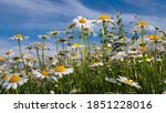 Wildflowers Chamomile In A...