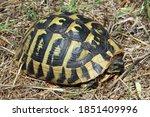 Small photo of Hermann's tortoise (Testudo hermanni) in natural habitat; Diklo-Zadar
