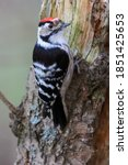 Lesser Spotted Woodpecker Is...