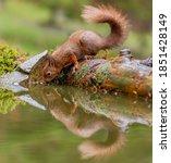Red Squirrel Photo North...