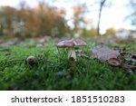 Russula Mushroom In The Autumn...