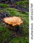 Brown Mushroom After The Rain.