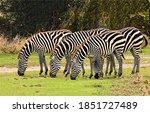 Zebra herd grazing in nature...