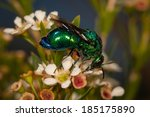 Metallic Green Cuckoo Wasp