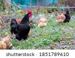 Black Rooster And Chickens In...