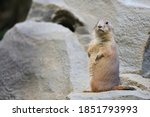 Prairie Dog Observing The...