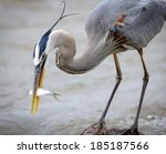 Great Blue Heron With Fish...