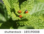 ������, ������: Beautiful Lady Bugs Coccinellidae