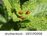 Постер, плакат: Beautiful Lady Bugs Coccinellidae