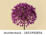 purple onion flower isolated on ...