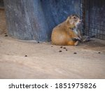 Prairie Dogs With Rocks And...