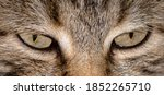 Gray Cat Face Close Up