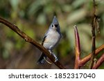 Tufted Titmouse On A Branch On...