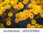 Yellow Orange Chrysanthemums On ...