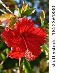 A Red Hibiscus Flower Is On The ...
