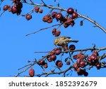Female House Finch Feeding On...