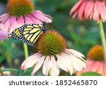 Monarch Butterfly On Pastel...