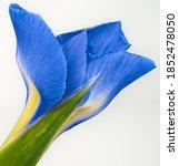 Blue Flower Iris On A Green...