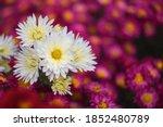 White Chrysanthemums On A...