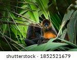 Spider Monkey On Palm Tree....