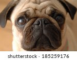 Pug Dog\'s Face Looking In The...