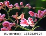 Pink Orchid Mantis Or Walking...
