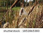 A Closeup Of Cattail Plants ...