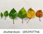Life Span Of A Hibiscus Leaf...