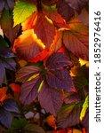 Small photo of Close up of Autumn Virginia Creeper leaves, Macro of Autumn Wild Grape leaves, Colorful Leaves Of Creeper Plant As Fall Season