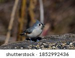 Tufted Titmouse With Seed Whil...
