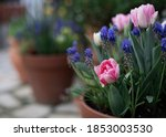 Pink Tulips And Muscari In...