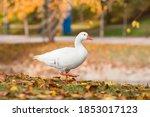Little White Goose Walking To...