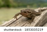 Common Toad Or European Toad ...