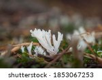 Clavulina Cristata  Commonly...