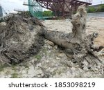 Trees Uprooted Due To...