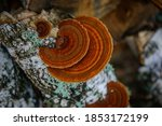 Top View Healing Chaga Mushroom ...