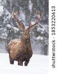 Vital Red Deer  Cervus Elaphus  ...